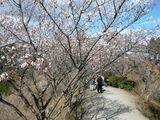 冬桜のトンネル