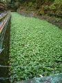 浄蓮の滝のわさび畑