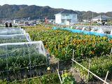 七浦地区お花畑