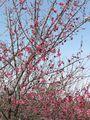 箕郷梅林の紅梅