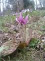 一輪だけ赤紫色に咲いていた