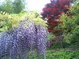 藤と春紅葉