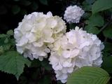 紫陽花も咲いていた