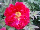 花弁と葯の鮮やかなコントラスト