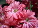 赤いデルフィニウムの花