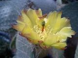 黄色いサボテンの花