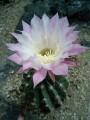 白とピンクのサボテンの花