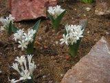 Kew Garden 温室内 Polyxena ensifolia