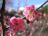 一部の紅梅も開花中