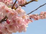 新宿御苑の桜のズーム