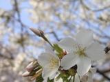 新宿御苑の白い桜
