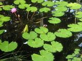 新宿御苑温室の蓮