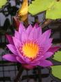 新宿御苑温室の蓮の花