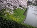 昭和館の桜