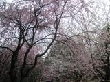 北の丸公園のしだれ桜