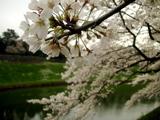 半蔵濠の桜