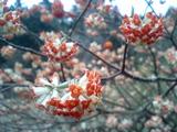 赤いミツマタの花
