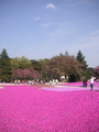 一面に広がる芝桜