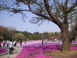 ガーデン内の桜の木