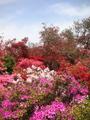 色とりどりに咲くツツジ