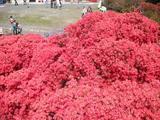 上から眺める真っ赤なツツジ