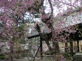 上杉神社の八重桜