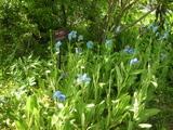 青いケシの花