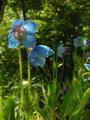 青いケシの花のアップ