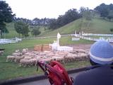 シープドックショウ、羊の集結