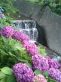 小野池あじさい公園の紫陽花