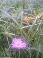 野反湖の花々